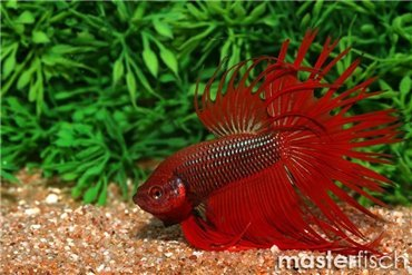 Labyrinth Fish