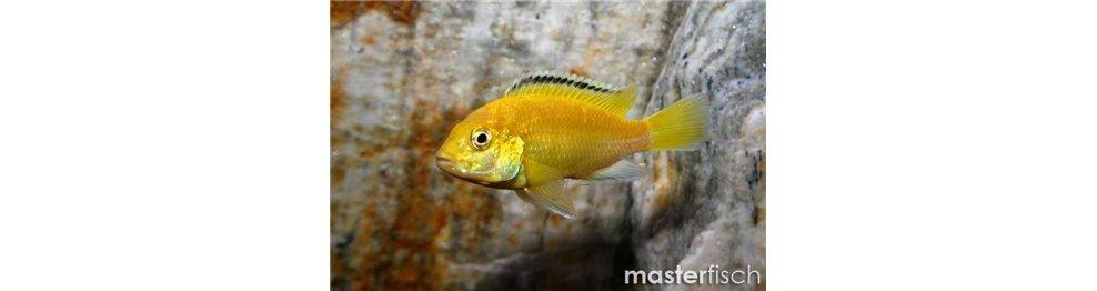 Malawi cichlids - Buy Freshwater fish for your aquarium